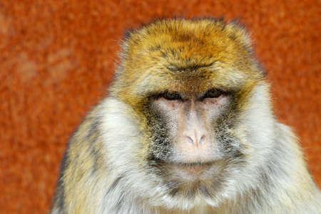 barbary ape: portrait of a barbary ape Stock Photo