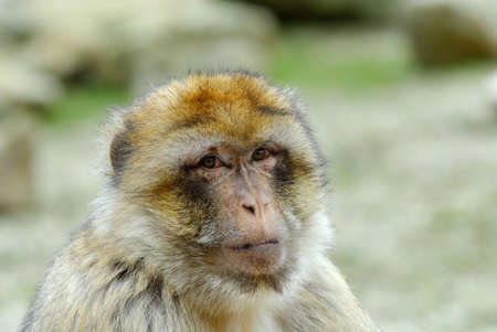 sylvanus: portrait of a barbary ape Stock Photo