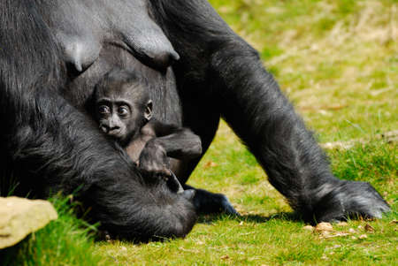 a cute  gorilla holding on to mother Stock Photo - 2919698