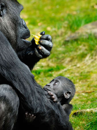 a cute  gorilla holding on to mother  Stock Photo - 2919684