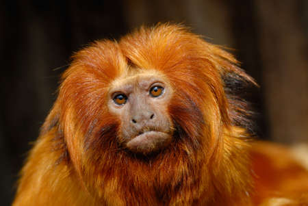 A golden lion tamarin (Leontopithecus rosalia)