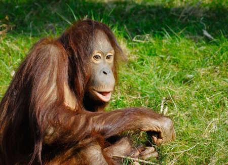 utang: cute orangutan on the grass Stock Photo