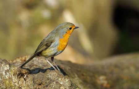 A cute robin redbreast on a tree (erithacus rubecula) Stock Photo - 2919681