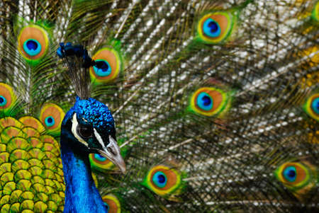 pavo: beautiful male indian peacock showing its feathers (Pavo cristatus) Stock Photo