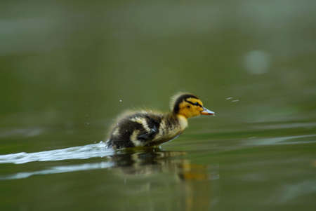 cute duckling speeding in the water photo