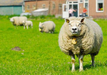 Schafe auf dem Bauernhof im Frühjahr  Lizenzfreie Bilder