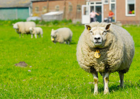 sheep at the farm in spring photo