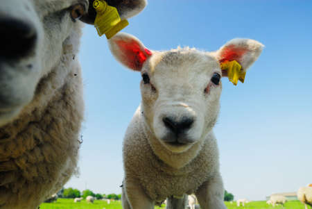 A cute lamb looking curious at the camera Stock Photo - 3033380