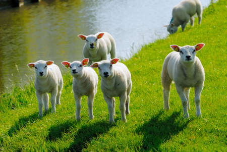curious lambs looking at the camera in spring Stock Photo - 3033385