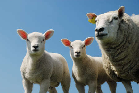 curious lambs and mother looking at the camera in spring Stock Photo - 3048830