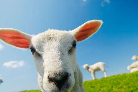 naivety: Funny picture of a curious lamb in spring Stock Photo