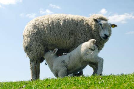 animalitos tiernos: cute la leche de consumo de cordero de la madre de ovejas