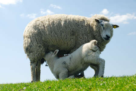 spring lambs: cute lamb drinking milk from mother sheep