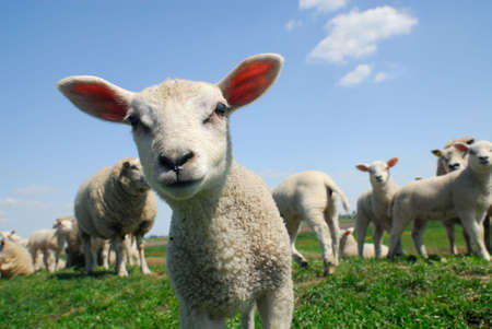 funny picture of a curious lamb in spring Stock Photo