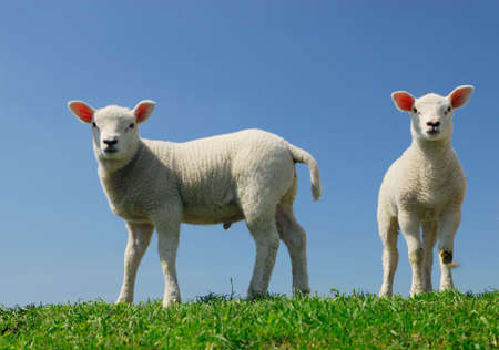 cute lambs in spring looking at the camera Stock Photo - 3048828