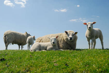 naivety: mother sheep with her cute lambs in spring Stock Photo
