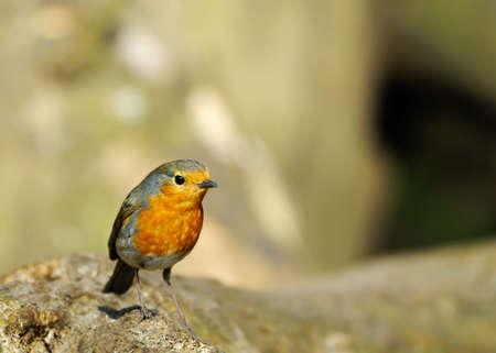rubecula: A cute robin redbreast on a tree (erithacus rubecula)
