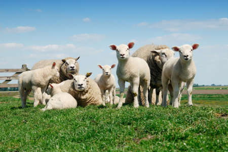 curious lambs and mother sheep looking at the camera in spring Stock Photo - 3048839