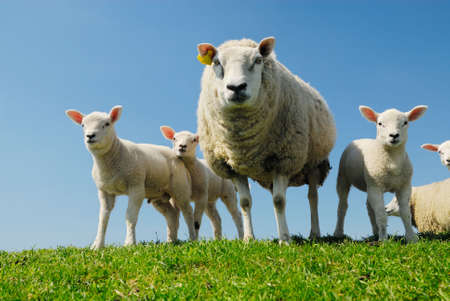 naivety: curious lambs and mother sheep looking at the camera in spring