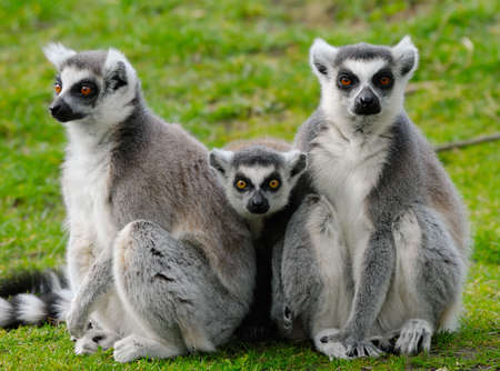 close-up of a cute ring-tailed lemur   photo