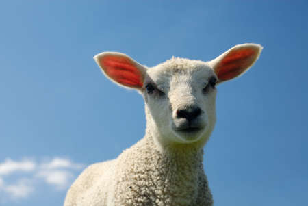 naivety: curious lamb looking at the camera in spring Stock Photo