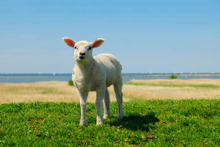 curious lamb looking at the camera in spring Stock Photo - 3054903