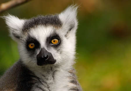 portrait of a cute ring-tailed lemur photo