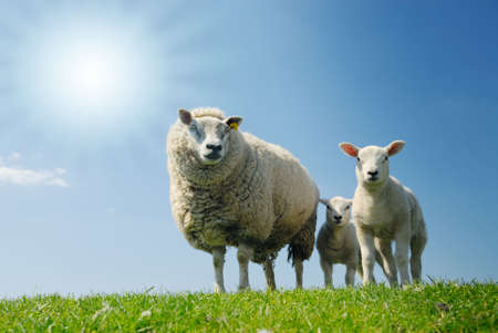 curious lambs and mother sheep looking at the camera in spring Stock Photo - 3061141