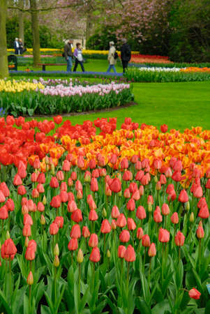 beautiful garden of colorful flowers in spring (keukenhof, The Netherlands) photo