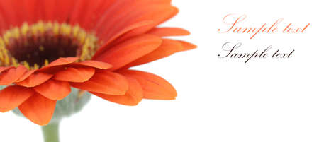 beautiful fresh orange gerbera flower isolated on a white background with room for text photo