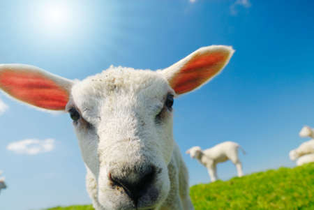 funny picture of a curious lamb in spring Stock Photo - 3061140