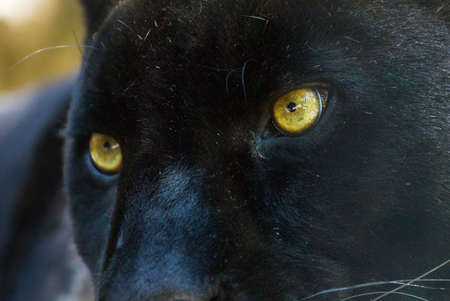 black and white panther: close-up of a beautiful black panther Stock Photo