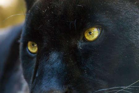 black panther: close-up of a beautiful black panther Stock Photo