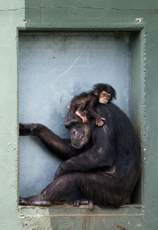 cute  chimpanzee with mother (Pan troglodytes) photo
