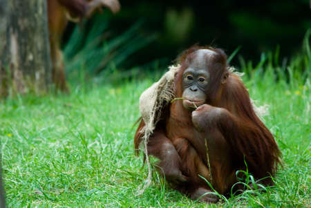 utang: cute  orangutan playing on the grass