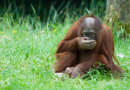 biped: cute  orangutan playing on the grass