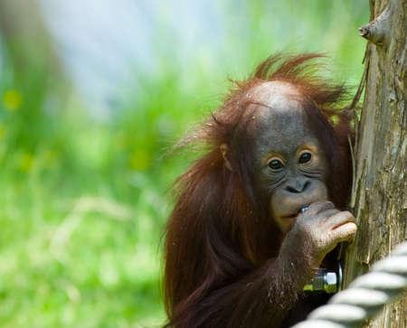 hominid: cute baby orangutan guardando la fotocamera  Archivio Fotografico
