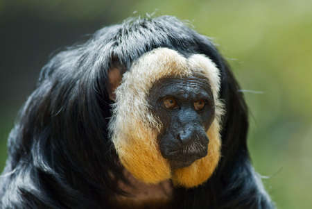 saki: portrait of a white faced Saki (Pithecia pithecia) Stock Photo
