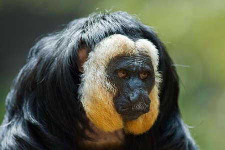 faced: portrait of a white faced Saki (Pithecia pithecia) Stock Photo