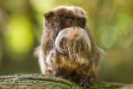 omnivore: cute emperor tamarin (Saguinus imperator) Stock Photo
