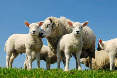 curious lambs and mother sheep looking at the camera in spring Stock Photo - 3122638