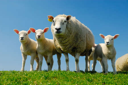 curious lambs and mother sheep looking at the camera in spring Stock Photo - 3122654