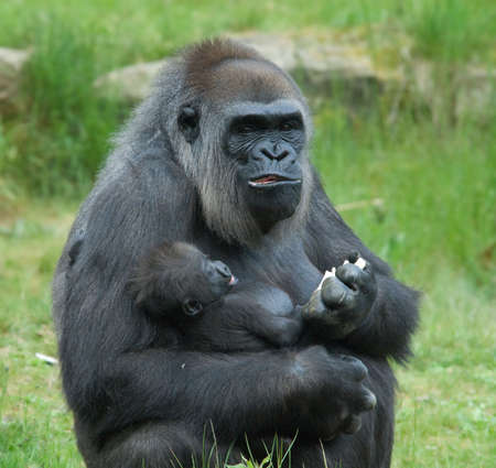 close-up of a big female gorilla holding a  photo