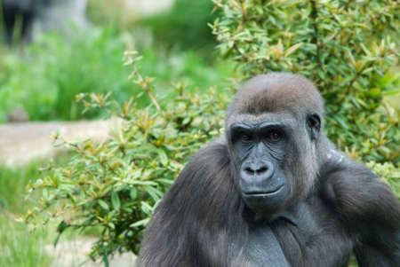 close up of a big female gorilla photo