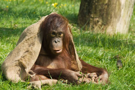 cute  orangutan playing on the grass photo
