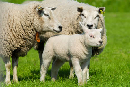 cute sheep  in spring Stock Photo - 3122677