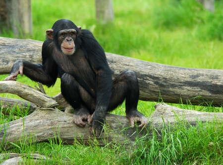 Nahaufnahme eines niedlichen Schimpansen (Pan troglodytes) Standard-Bild - 3122656