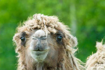 domesticus: close-up of a camel (Camelus bactrianus domesticus )