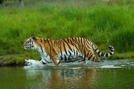 panthera tigris: Tigre siberiano (Panthera Tigris Tiger altaica) en el agua  Foto de archivo