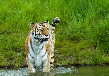 Siberian tiger  (Tiger Panthera tigris altaica) in water  photo